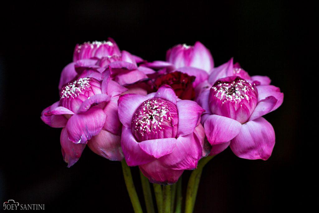 Violet Lotus flowers